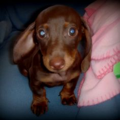 Little chocolate dachshund