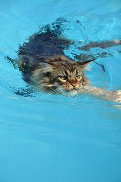 This is a very dangerous scenario. If that kitty went under the pool cover the owners would never know until they took the cover off. Don't let your kitties play around the swimming pool, it's just not safe.