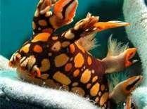 Bornella Stellifer Nudibranch    ;)