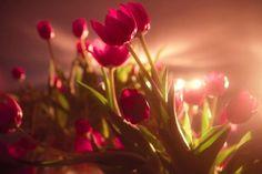 Red Flowers Tulips Powerful Side Light HD Wallpaper