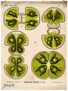Plant anatomy chart from the Dodel-Port Atlas, Cosmarium botrytis Ernst Haeckel, Science Art, Science And Nature, Botanical Illustration, Illustration Art, Glass Bead Game, Biology Art, Image Nature, Microscopic Images