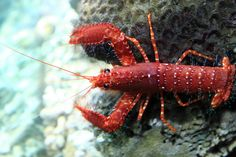 Lobster by HOANGLUONGPHOTOS, via Flickr