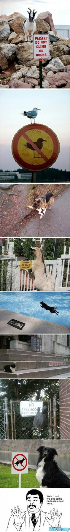 Animal rebels #funny #dog #lol #rebel #animal #goat