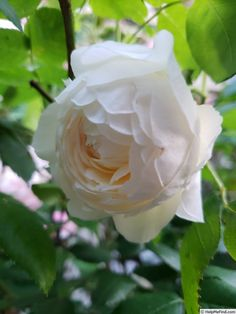 Photo of the rose 'Claire Austin' Claire Austin Rose, Shrub Roses, Rose Photos, Shrubs, Flowers, Plants, Shrub, Plant, Royal Icing Flowers