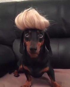 Dapple Dachshund, Funny Dachshund, Dachshund Puppies, Dachshunds, Funny Dogs, Cute Dogs, Funny Dog Pictures, Funny Animal Videos, Cute Funny Animals