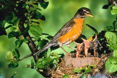 How To Distinguish A Male & Female Robin