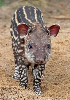 Baby tapir--cutest most amazing baby in the world Baby Exotic Animals, Unique Animals, Nature Animals, Exotic Pets, Cute Baby Animals, Animals And Pets, Cute Piggies, Most Beautiful Animals, Animal 2