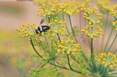 Tillin kukinto ja pörriäinen - tilli maustetilli Anethum graveolens yksivuotinen ruohokasvi luonnonvarainen kasvi puutahakasvi mausteyrtti yrtti mauste pörriäinen hyönteinen ötökkä kukkakärpänen