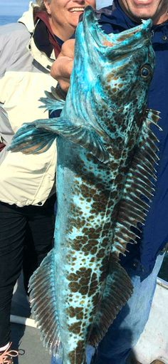 This blue lingcod also has blue flesh/meat