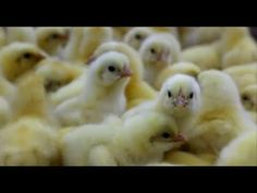 VIDEO. What is factory farming? - LAYING HENS