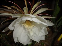 Su nombre científico es: Epiphyllum oxypetalum, comúnmente conocida como flor de baile o pluma de Santa Teresa. Es una planta asociada ...