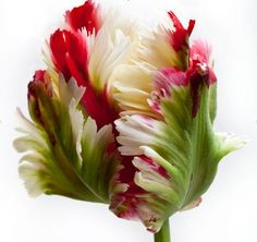parrot tulip:::Tulips are my favorite bulbs. these are different being three colors. Lorr
