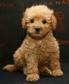 Golden Doodle pup?
