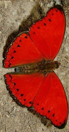 Butterfly Pictures, Butterfly Flowers, Butterfly Wings, Madame Butterfly, Beautiful Creatures, Animals Beautiful, Cute Animals, Beautiful Bugs, Beautiful Butterflies