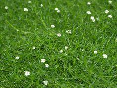 Irish Moss Ground Cover | Home > Products > Sagina - Irish Moss