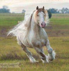 8658-601.jpg :: Gypsy Vanner horse stallion