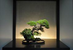 The Omiya Bonsai Art Museum, Saitama 赤松(あかまつ Aka-matsu) Red Pine