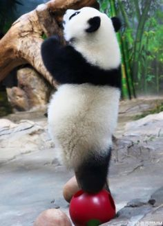 """* * PANDA: """" Me suffers from insomnia, but me ain't losin' any sleep from it. Me gotz to play."""""""