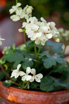 geranium - muskátli