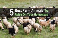 5 Best Farm Animals To Raise on Your Homestead. To decide which animals are right for your homestead, you'll need to consider several factors, the size of your homestead, your end goal with livestock, and the time you'll have to spend taking care of them each day. #Homestead #Animals #Farmlife