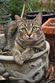 Green eyed tabby cat, in garden pot. Pretty Cats, Beautiful Cats, Animals Beautiful, Cute Animals, Pretty Kitty, Cute Cats And Kittens, Cool Cats, Kittens Cutest, Ragdoll Kittens