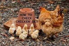 How to check chicken sex