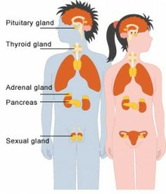 16 Best Endocrine System Images In 2014 Endocrine System Anatomy