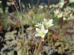 Saxifraga bronchialis. Skyline Divide Hike – Flowers, Butterflies and Mount Baker.