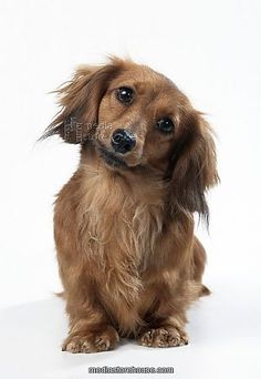 """Long-haired miniature dachshund - Looks just like our precious """"Baby"""" who was with our family for over 16 years."""