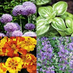 Rose Companion Plants - Pic:(ornam. allium, basil, fr marigold, catmint). Great lists here: groundcover, shapes, repellants, climbers, bushes, etc.  To Ward off Pests, coplant: Onions, Chives, Garlic, Basil, Parsley, Mint, Geranium Mariogold, Tansy and Tomatoes.   Garlic repels aphids, thrips, black spot and mildew, tho you may need to plant for several years for best results.