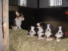 1 corgs and 4 bermie pups <3
