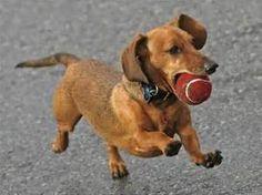 Wiener Dogs Puppies - Bing Images