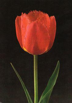 Tulip «Fringed Apeldoorn»