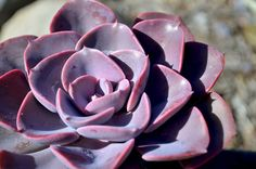 Echeveria 'dusty rose' • Succulent • full to partial sun (avoid full summer sun in hot, dry areas, hardy to 32F, drought tolerant...good for xeriscaping