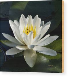White Water Lily Wood Print by Christina Rollo. All wood prints are professionally printed, packaged, and shipped within 3 - 4 business days and delivered ready-to-hang on your wall. Choose from multiple sizes and mounting options. Botanical Wall Art, Botanical Prints, Fine Art Photography, Nature Photography, Flower Photography, Wood Plank Art, Flower Pictures, Water Lilies, Wood Print