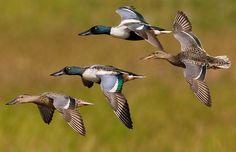 Northern Shoveler flock