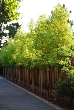 With evergreen plants landscaping ideas 78 fence trees, backyard plants, ba Fence Trees, Backyard Trees, Backyard Fences, Garden Fencing, Diy Fence, Fence Art, Privacy Plants, Fence Plants, Patio Plants