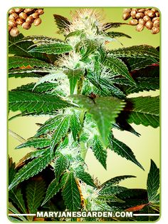 Buy Top 44 Marijuana Seeds  This strain does not branch too much and this trait makes it ideal for small gardens or confined indoor grow room.  http://www.maryjanesgarden.com/top-44-marijuana-seeds.php