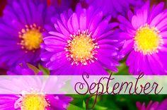 Happy September Birthday! September birthdflower is the Aster, and the birthstone is the Sapphire.  #september #birthflower #freytagsflorist