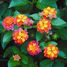 Son Sonset Lantana Plant - snail and slug resistant - perennial in zone 9