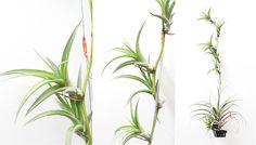 Time to show our glorious and beautiful Flexuosa var. vivipara clump. www.joinfolia.com