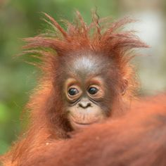 Top 10 images of orangutans for International Day of Happiness — Orangutan Foundation Baby Animals Pictures, Cute Animal Pictures, Cute Baby Animals, Animals And Pets, Funny Animals, Cute Monkey Pictures, Wild Animals, Top 10 Image, Cute Baby Monkey