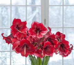 Amaryllis Daphne, two nursery pots in a 17 woven basket Amaryllis Care, Amaryllis Bulbs, White Flower Farm, Lower Lights, Parts Of A Flower, Flower Market, A 17, Cut Flowers, Botany