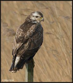 Buizerd (Van vroegevogels)