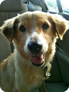 Ann! Sheltie, Shetland Sheepdog Mix Dog for adoption in Washington, D.C.
