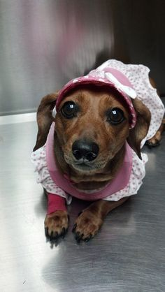 Pic of Savannah during one of her monthly vet visits. She hated the hat. - Submitted by Michelle