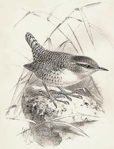 Bird Drawing. - Wren ? I like to think so. Feet are rather large.