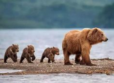 Best photographs from the contest Wild Nature of Russia 2015 by National Geographic Wild Animals Pictures, Bear Pictures, Animal Pictures, We Bear, Bear Cubs, Grizzly Bears, Panda Bears, Tiger Cubs, Tiger Tiger