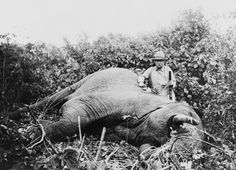 Teddy Roosevelt Standing Over His Kill, an Elephant, while on Safari, ca. 1909