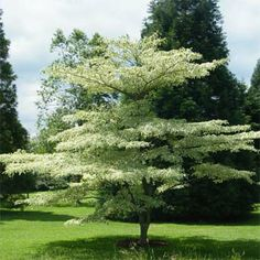 Achat euonymus fortunei 39 emerald 39 n 39 gold 39 fusain jeune for Achat plante en ligne